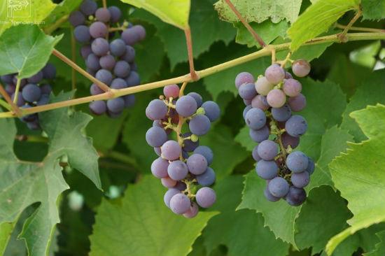 Виноград Альфа для беседки