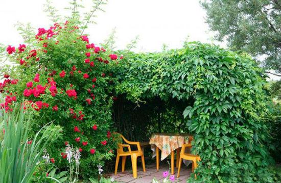 Розы и виноград в оформлении беседки