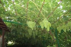 Выращивание винограда на беседке.